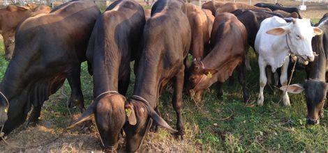 Beef Cattle Breeding